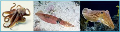 Tenerife-Connect calamar choco inktvis octopus pulpo sepia weekdier soorten