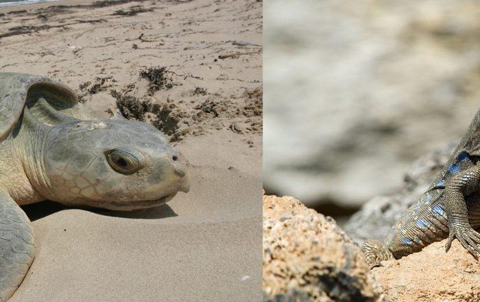 Tenerife-Connect fauna zeeschildpad hagedis lagarto
