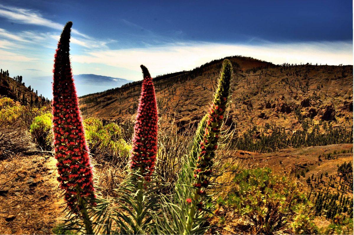 Tenerife-Connect natuur bloem Tajinaste Echii natuurpark Teide