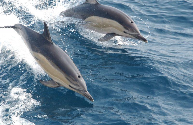 Tenerife-Connect dolfijn walvis grienden spotten zeezoogdieren