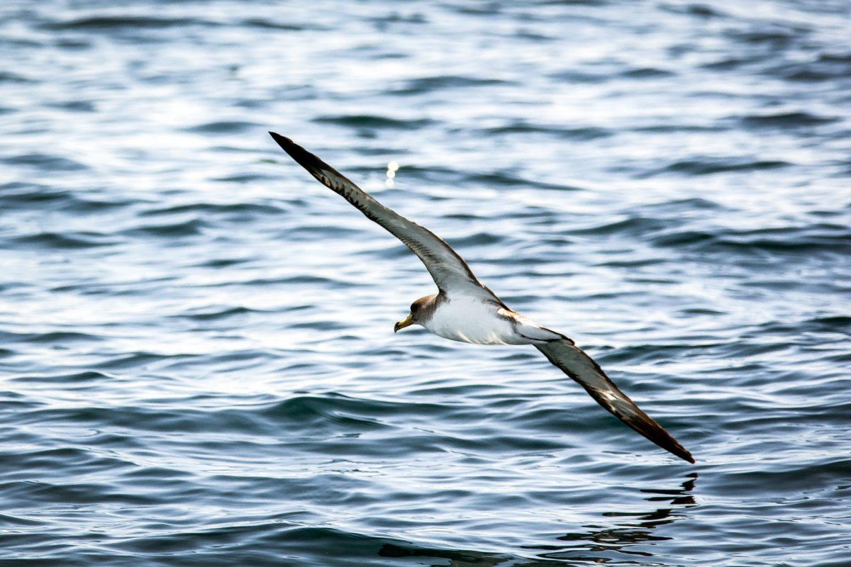 Tenerife-Connect broed, meeuwen pardela pijlstormvogel Kuhls