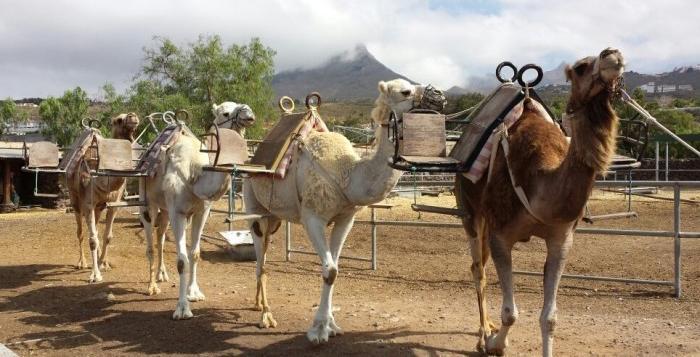 Tenerife-Connect kameel dromedaris vervoer dieren