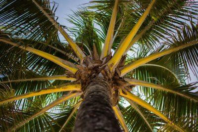 Tenerife-Connect palmhoning miel-de-palma ingrediënt keuken gastronomie traditie cultuur