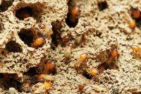 Tenerife-Connect termieten plaag insecten